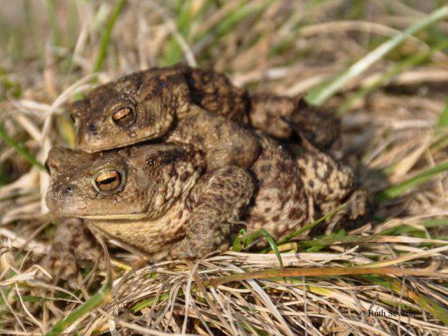 Erdkröten Paar - Foto: (c) Ruth Severin
