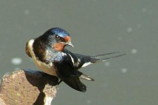 Rauchschwalbe - Foto: R. Wulf