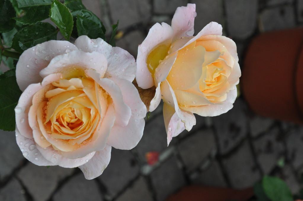 Rosen am Blumenmarkt
