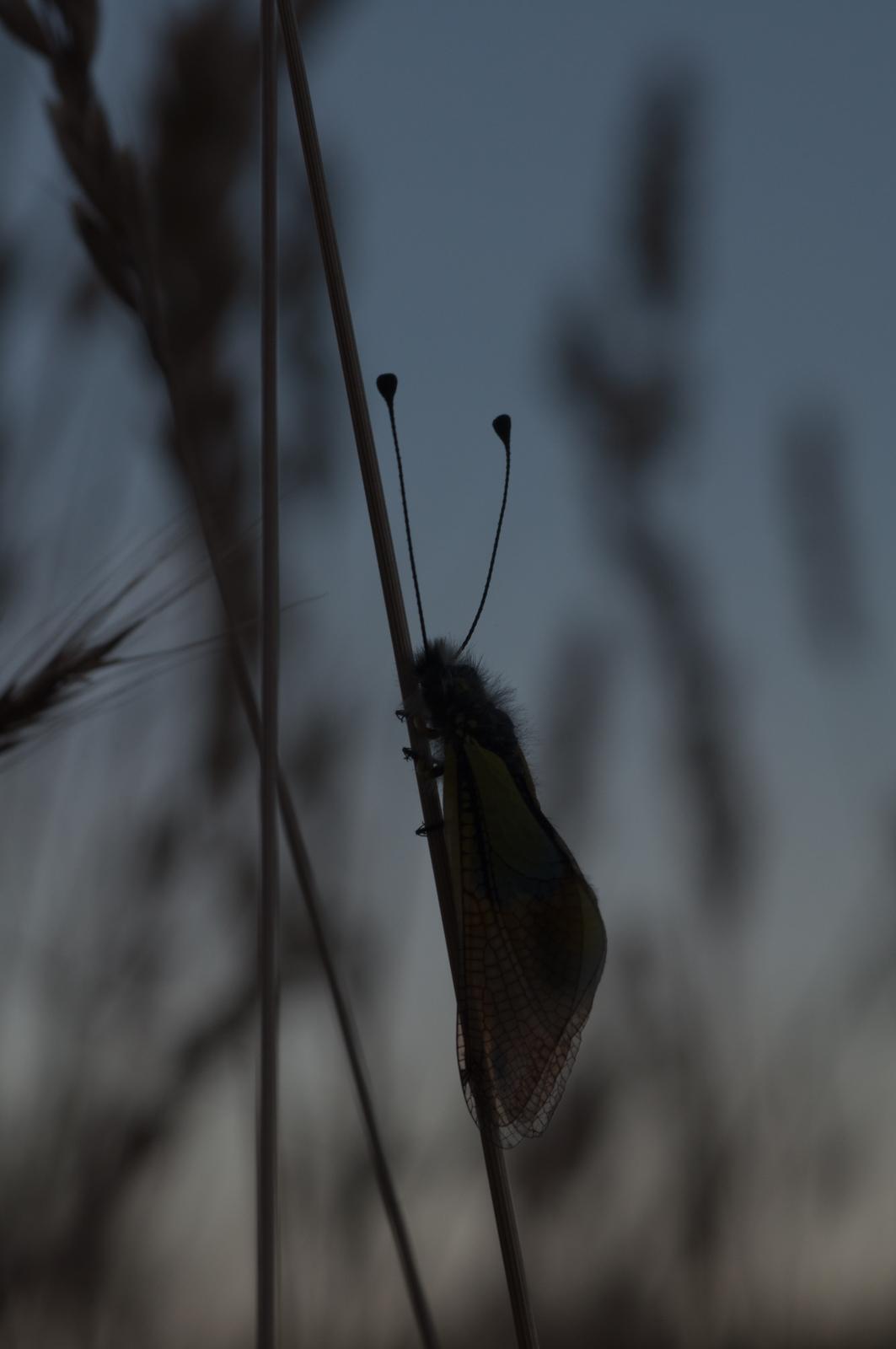 Libelloide baeticus