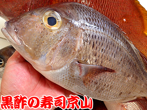 シロダイ 白鯛 寿司