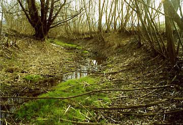 Weide | Salix