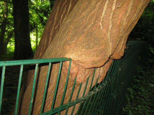 Baumwuchs versetzt Zäune