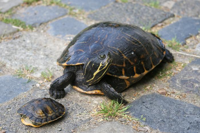 Amerikanische Schmuckschildkröten