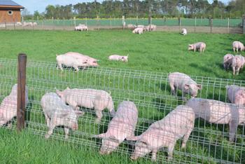 Unser Grillfleisch stammt von Schweinen aus eigener Freilandhaltung.