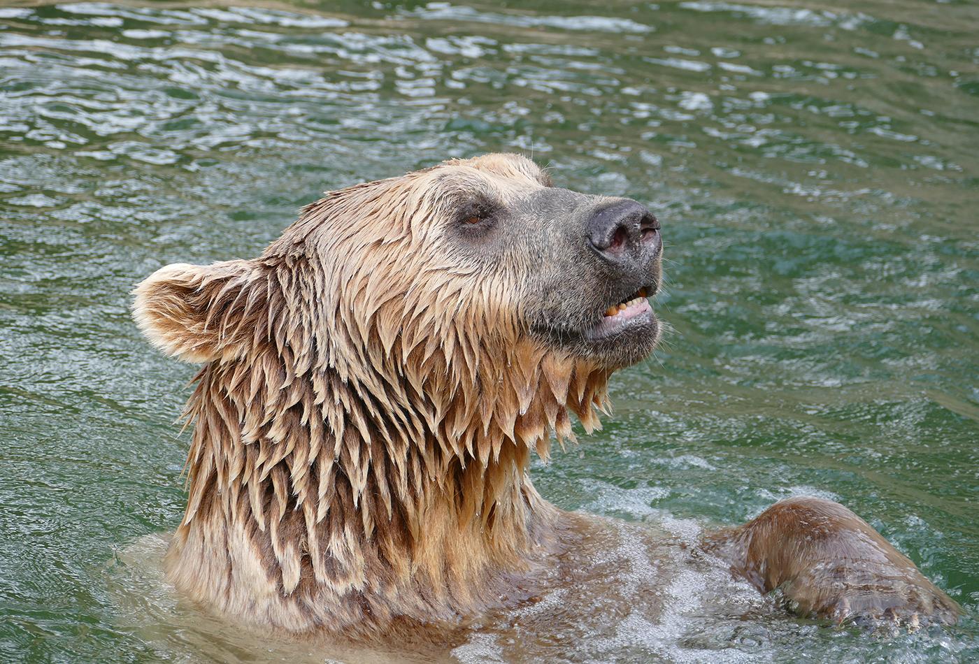 Zoo Heidelberg: Syrischer Braunbär gestorben