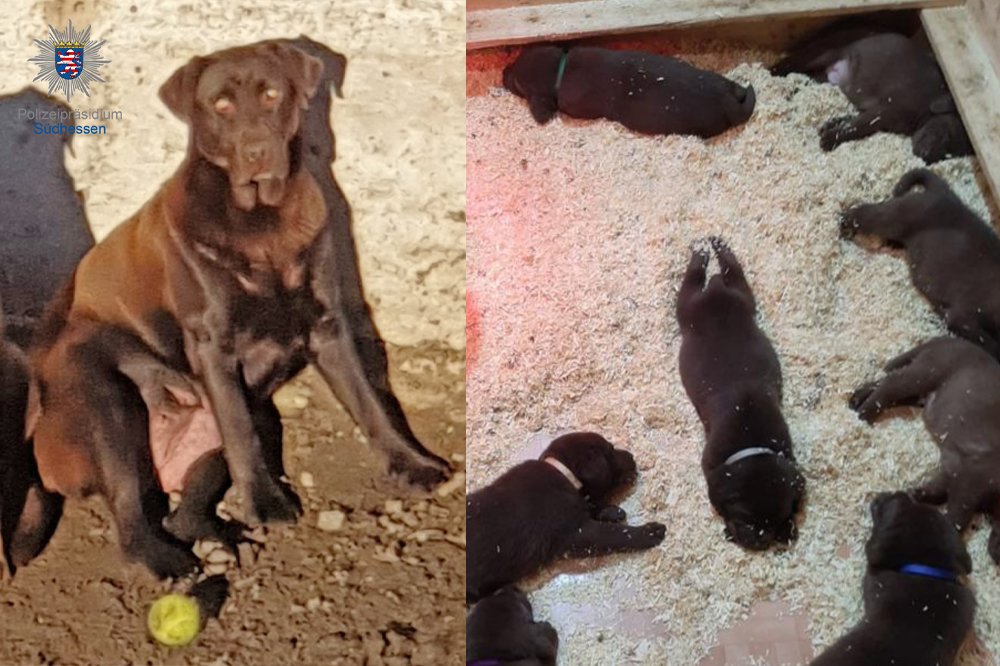 Viernheim: Schokobraune Labradorhündin mit Welpen gestohlen