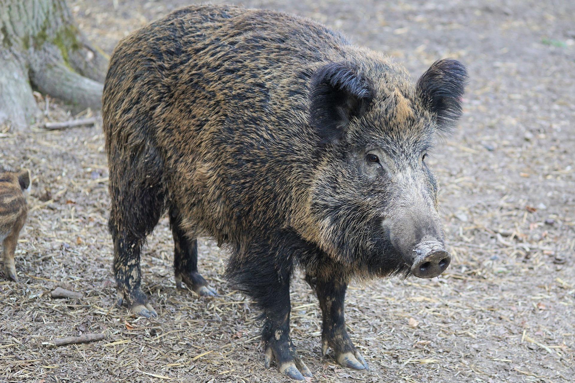 Heidelberg/Weststadt: Passantin nach Wildschweinattacke leicht verletzt.