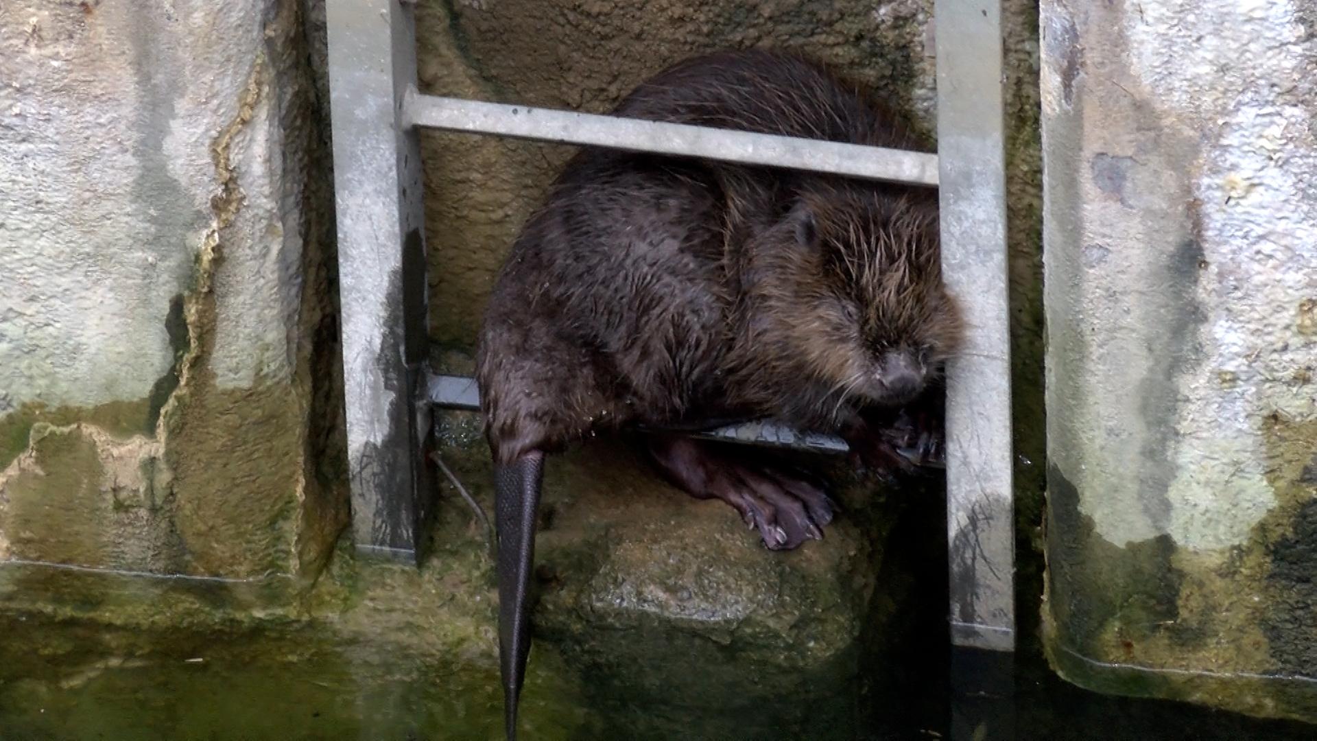 Mannheim: Sturz aus 15 Meter Höhe - Tierrettung Rhein-Neckar und Berufsfeuerwehr retten erneut Biber aus Schleusenkammer