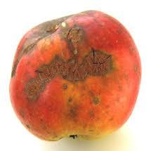 tavelure de la pomme