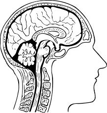 coupe du cerveau humain