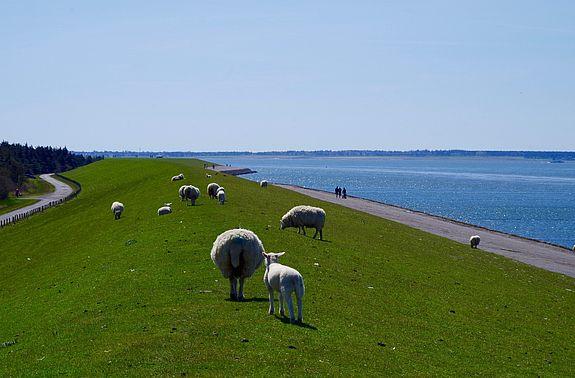 Schafe auf dem Deich - auf die trifft man ständig