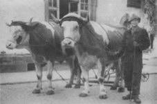 Josef Reinwand mit seinen zwei stattlichen Ochsen