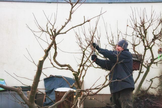 Apfelbaum wird geschnitten