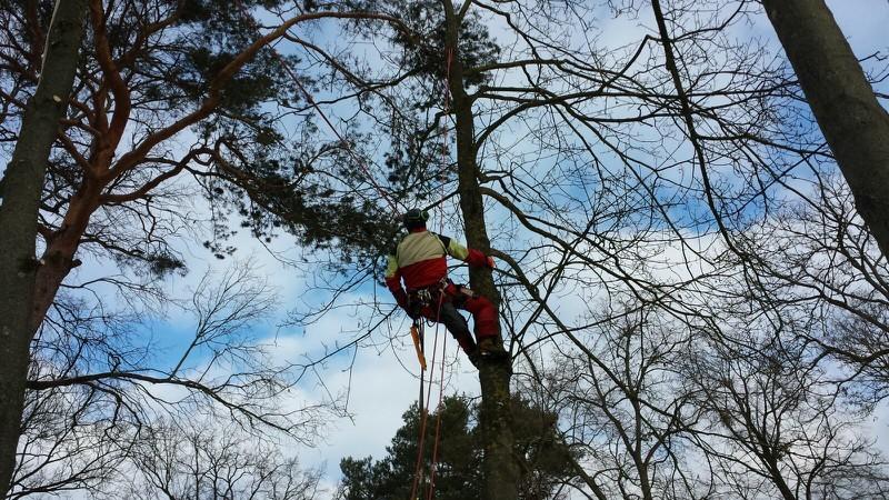 Hier werden 4  20 Meter hohe Ahörner mit Seilklettertechnik abgetragen