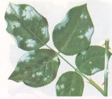 Oidio - Mal Bianco: conosciuto più comunemente come mal bianco, nebbia o manna. Si sviluppa soprattutto in presenza di condizioni climatiche umide, mediamente calde e in caso di scarsa aerazione.