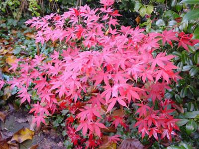 Acer palmatum - esige terreni acidi. Resiste al freddo - Foglia caduca