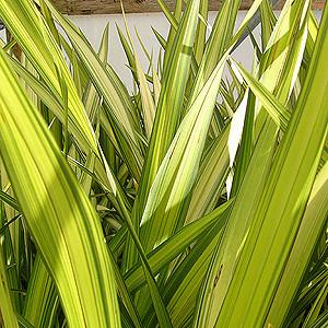 Phormia tenax ( variegata) - h 1-2 m. senza esigenze sulla natura del suolo -coltivabile anche in vaso
