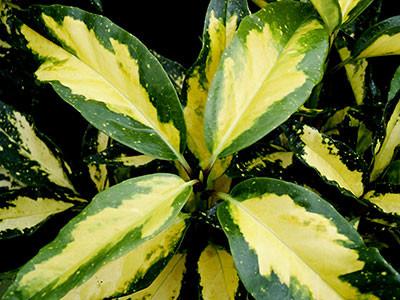 Acuba japonica - bacche rosse in inverno. Per siepi anche all'ombra - Sempre verde