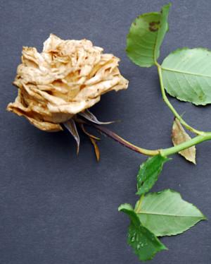 Muffa grigia della rosa: Attacco soprattutto sui boccioli, poco sulle foglie. I boccioli rimangono chiusi e coperti da una muffa grigiastra fino al disseccamento del bocciolo stesso.