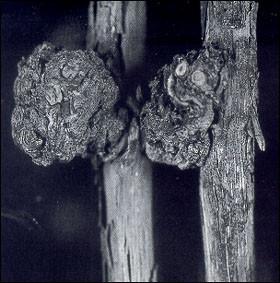 Tumore batterico: il batterio determina l'insorgenza di tumori, spesso di notevoli dimensioni, su diversi organi legnosi delle piante, in particolare radici. Il tumore altera profondamente la struttura dei tessuti, per cui quando è di dimensioni rilevanti