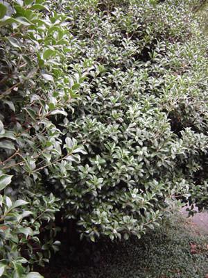 Osmantus - vive in ogni esposizione, con fiori profumati e si presta anche da siepi -  Sempre verde