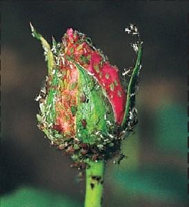"""Afidi: Conosciuti comunemente anche come """"pidocchi"""", con il loro apparato boccale suggono la linfa dei giovani germogli provocando malformazioni e danni alle nuove foglie."""