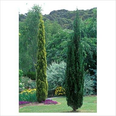 Cupressus - Sempre verde