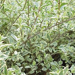 Ligustrum senensis - per siepi, in ogni suolo e al mare - Sempre verde