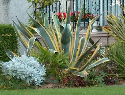 Agave americana variegata - h 1,5 - 2,5 coltivabile anche in vaso