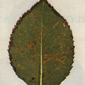 Ruggine:inizia a primavera il suo ciclo riproduttivo, La malattia è favorita da ambienti umidi e piovosi con una temperatura che varia dai 18 ai 22 gradi C.