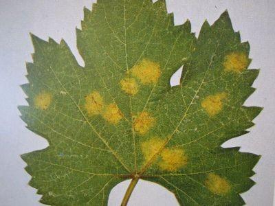 Peronospora: malattia fungina è localizzata principalmente lungo i margini della foglia e risultano clorotiche giallastre e tipicamente traslucide (denominate macchie d'olio)
