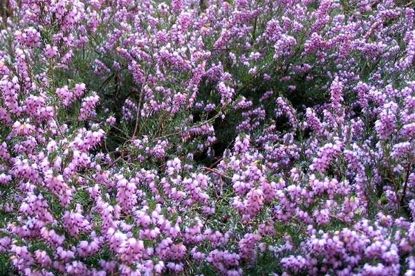 Erica - per terreni acidi, ma tollera anche quelli leggermente calcarei. Buona cone tapezzante - Sempre verde