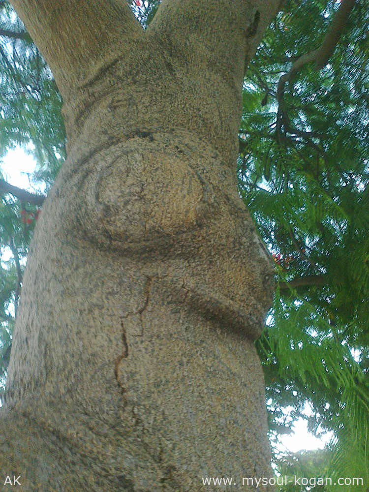 ствол огненного дерева