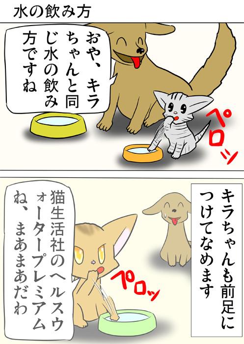 水を前足につけてなめるアメリカンショートヘア猫 ふわもふ猫の日常四コマweb漫画341話1p