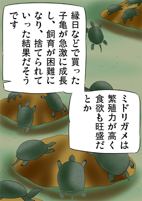 河原のミドリガメたち