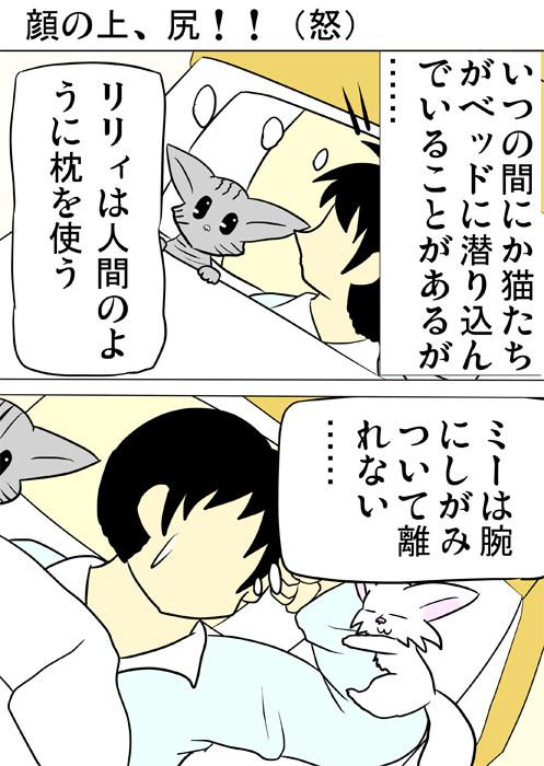 ベッドで少年の横に横たわるアメリカンショートヘア猫と腕にしがみつくマンチカン猫 ふわもふ猫の日常四コマweb漫画343話1p