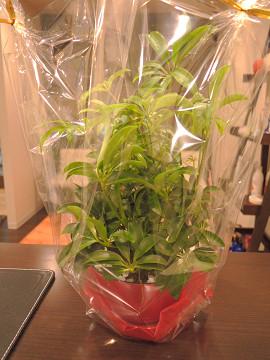 シェフレラ(カポック)観葉植物