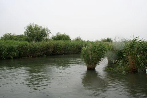 減少いちじるしい長良川のヨシ原
