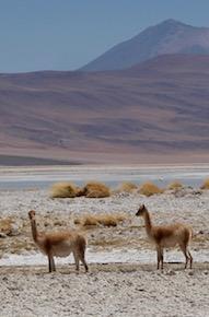 Besuch von Vicuñas