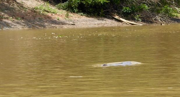 rosaroter Flussdelfin...bessergesagt sein Rücken