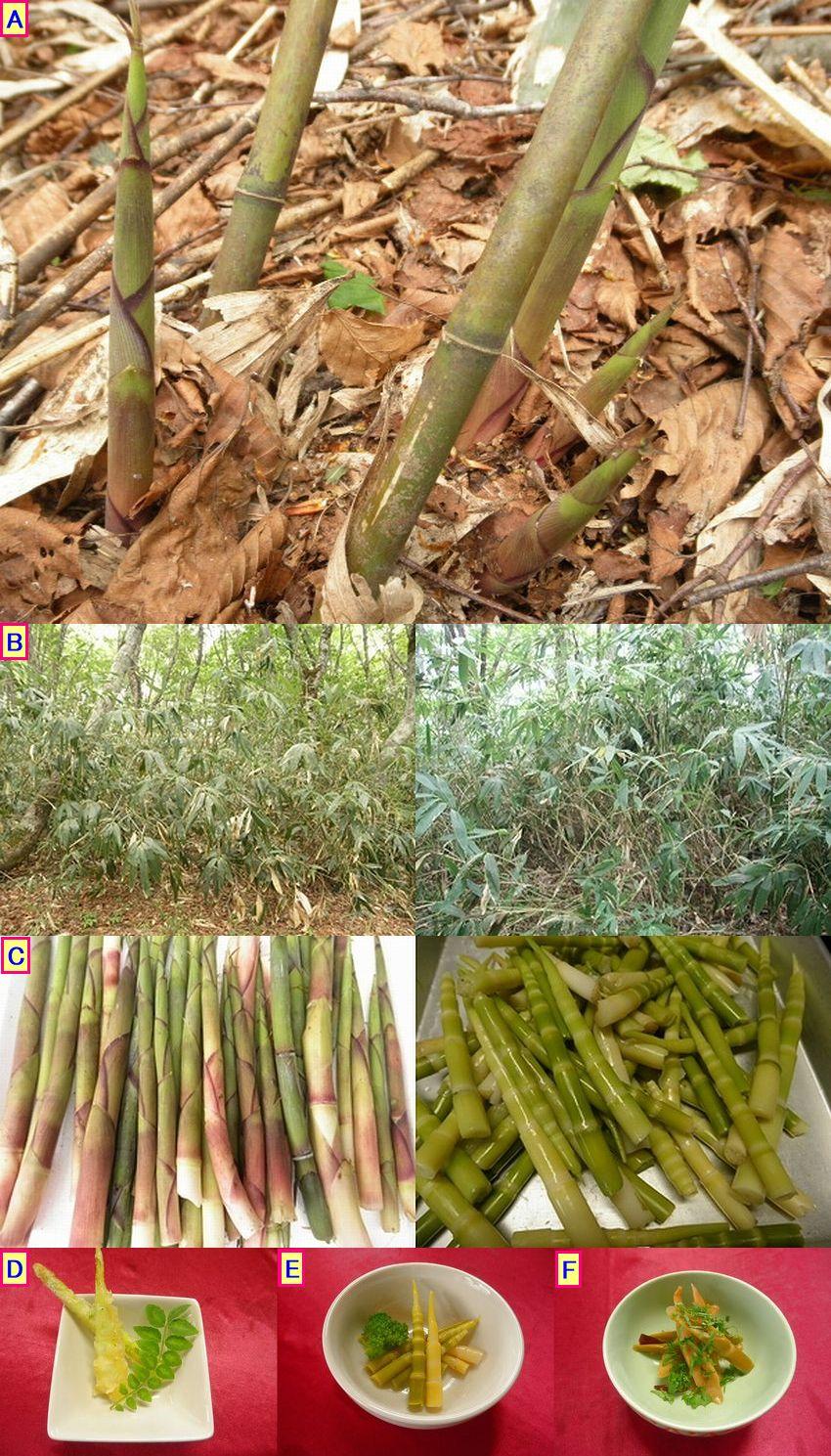 山菜ですが、1000m級の高い山の中で収穫します。