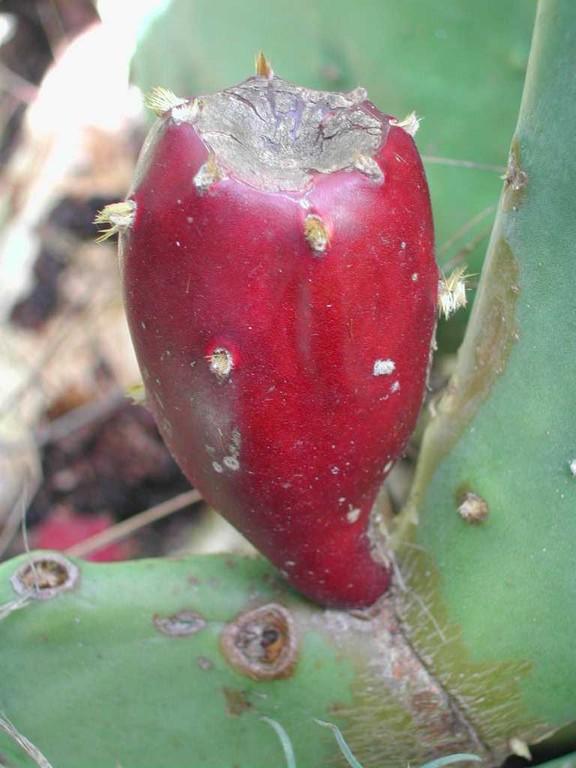 Le fruit comestible du Figuier de barbarie, cactus