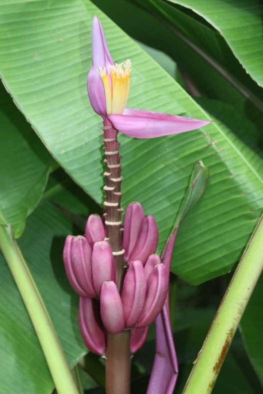 4029_05 DEZ 2013_Martinique_Jardin de Balata_Zier-Banane