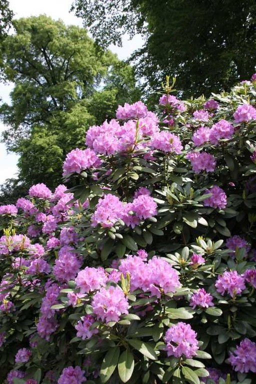0042_19 Mai 2012_Rhododendron_Blüte