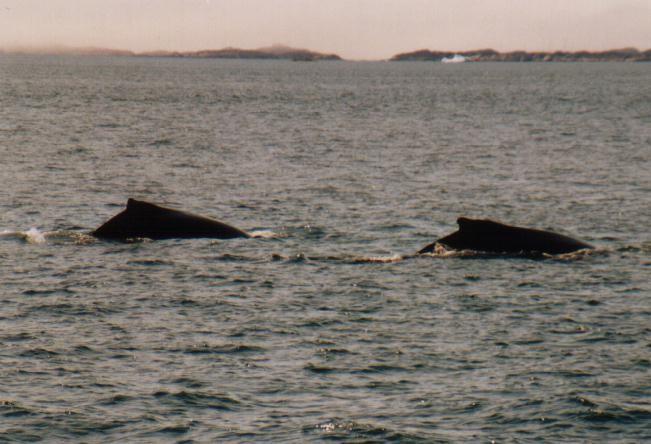 Buckelwale vor Nuuk / Grönland