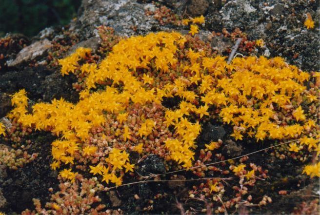 Pflanzen am Myvatn / Island