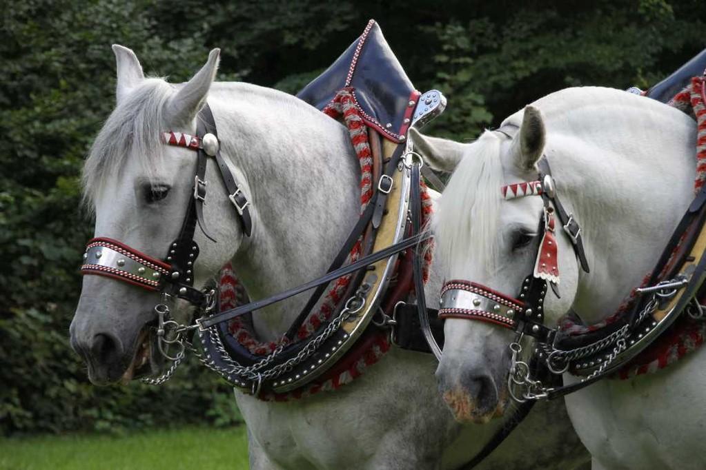 157_0142_17 Sept 2010_Gartenfest_Percheron-Pferde