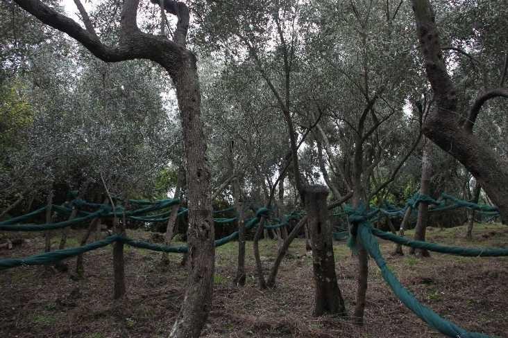 0275_07 Okt 2013_Cinque-Terre_Oliven-Plantage