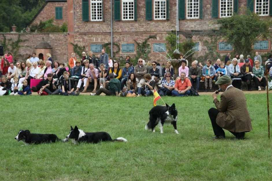 0263_22 Sept 2013_Gartenfest_Bordercollies & Heidschnucken